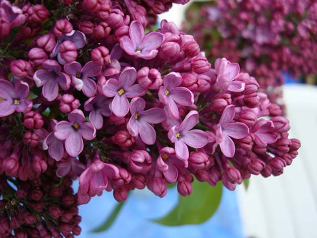 Hoa đinh hương chữa viêm khớp gối