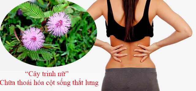 Cây trinh nữ chữa bệnh thoái hóa cột sống thắt lưng