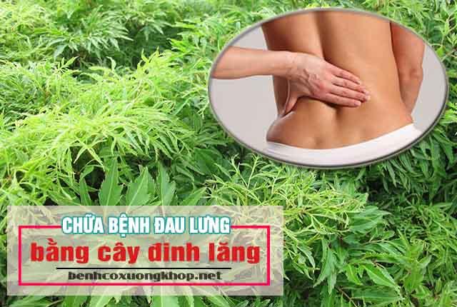 chữa bệnh đau lưng bằng cây đinh lăng